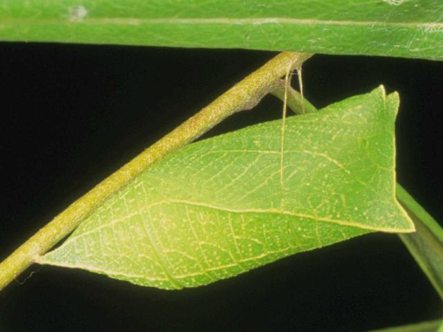 Figure 10. Green pupa of the zebra swallowtail, Protographium marcellus (Cramer).