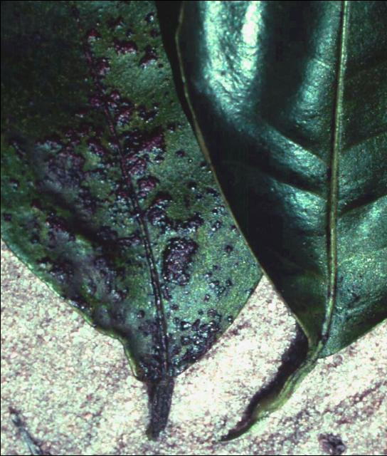 Figure 3. Citrus rust mite feeding.