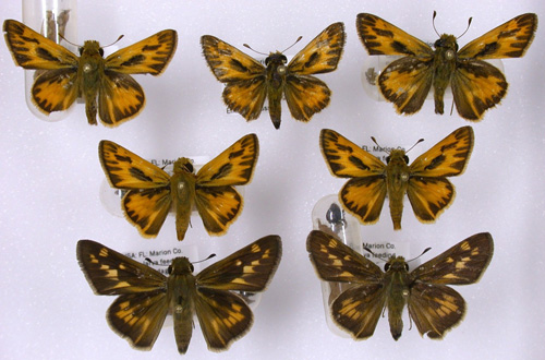 Figure 1. Adult male (smaller, top two rows) and female (bottom row) fiery skippers, Hylephila phyleus (Drury).