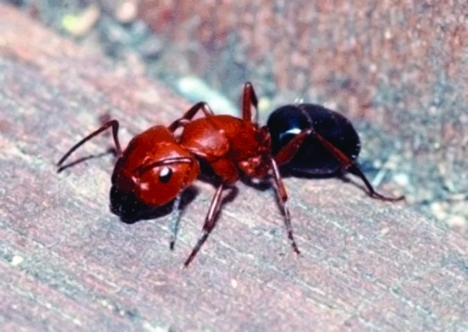 Figure 1.Adult carpenter ant major worker.