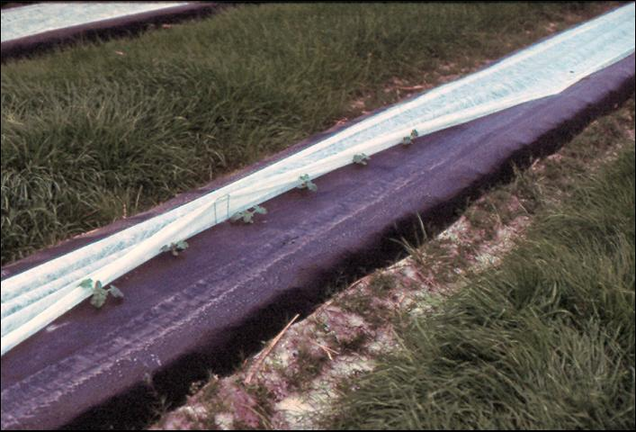 Figure 12.Single-row floating row cover on watermelons in Florida.