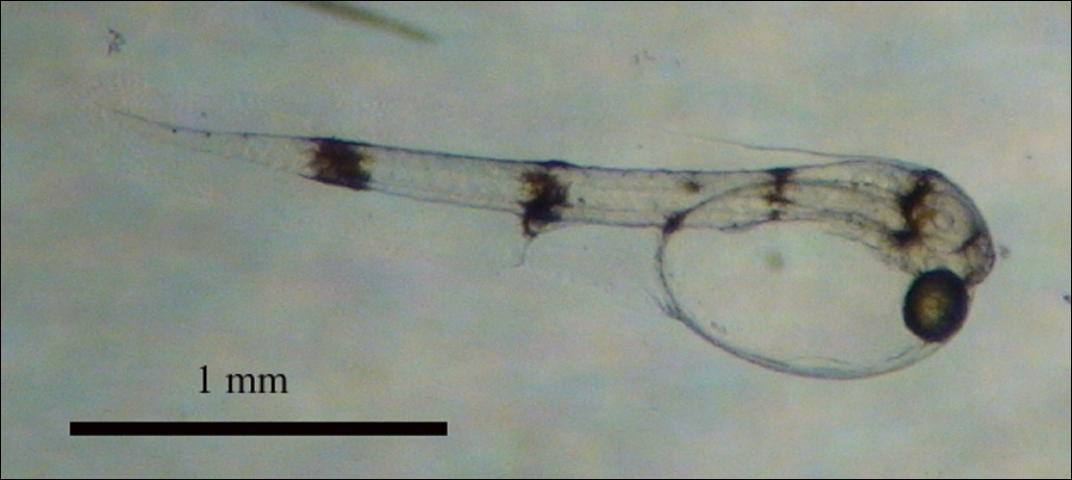 Figure 3.Pigfish larvae, day zero post hatch.