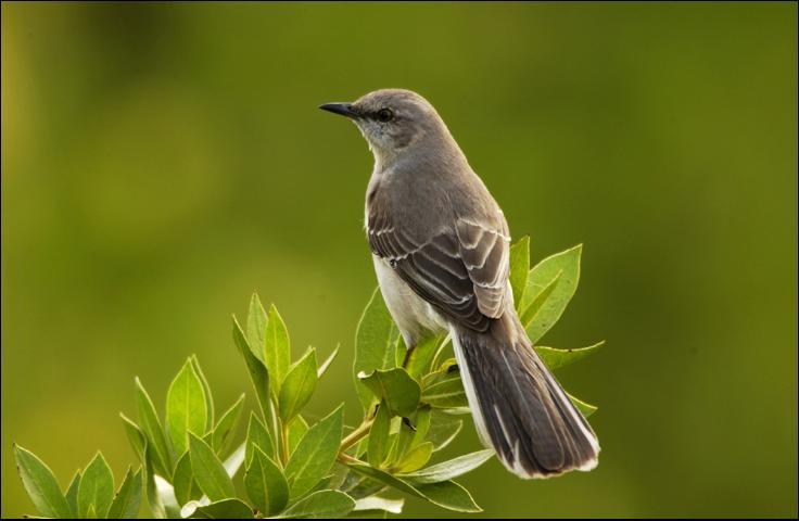 Figure 8.Northern mockingbird.