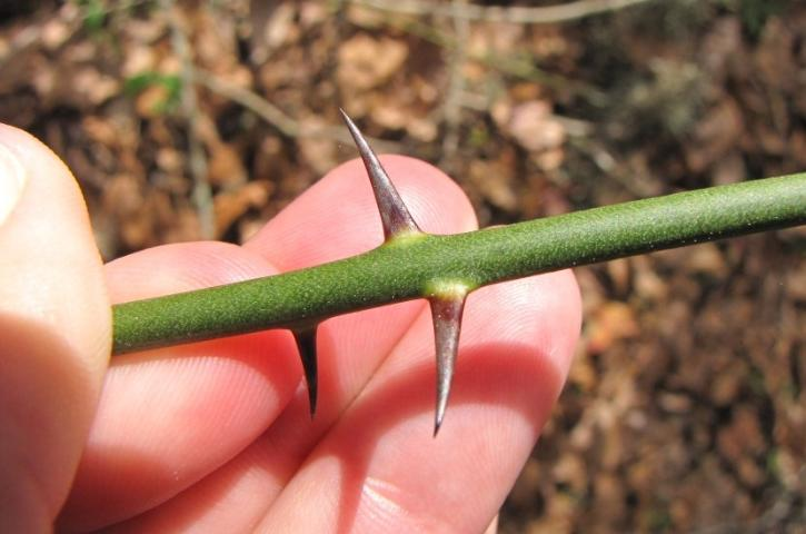 Figure 12. The prickles of Smilax tamnoides are needle-like, shiny, and dark-brown to black in color.