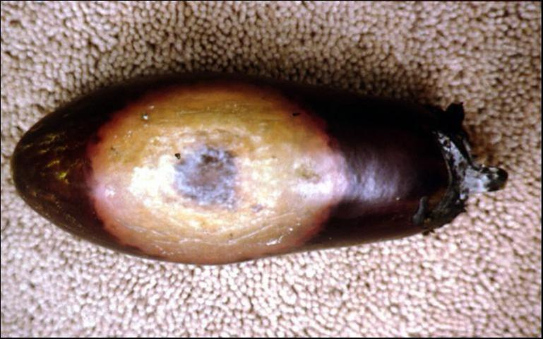 Figure 4.Fruit rot in eggplant caused by Phytophthora capsici.
