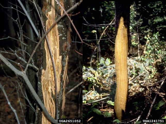 Figure 9.Damage to trees inflicted by black bear claws.