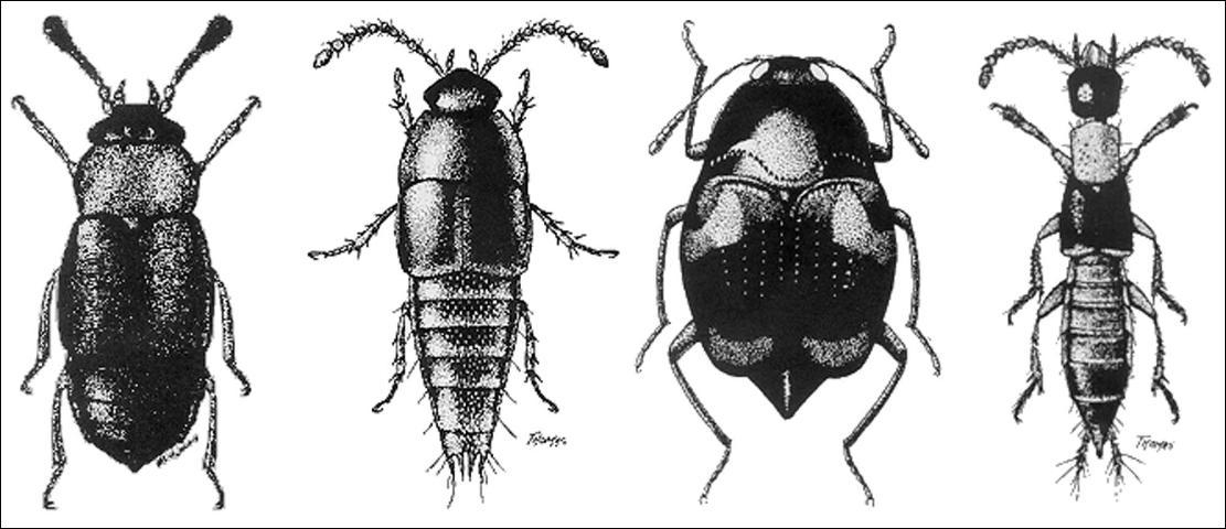 Figure 1.Representative adults of four subfamilies (left to right): Proteinus thomasi Frank (Proteininae) 1.5 mm; Coproporus rutilus (Erichson) (Tachyporinae) 3.8 mm; Scaphidium quadriguttatum (Say) (Scaphidiinae) 4.3 mm; Neobisnius ludicrus (Erichson) (Staphylininae) 4.1 mm.