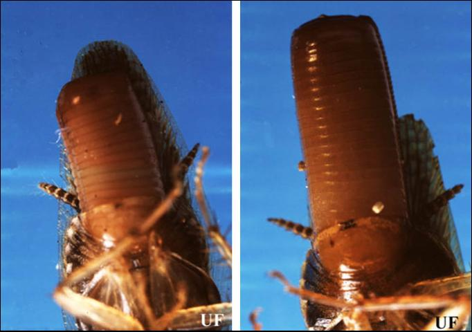 Figure 3.Ventral view of late stages of gravid female Asian cockroach (left), Blattella asahinai Mizukubo, and gravid female German cockroach (right), Blattella germanica (Linnaeus). Notice that the ootheca of the female Asian cockroach does not extrude as far beyond the adult's wings as the ootheca of the female German cockroach.