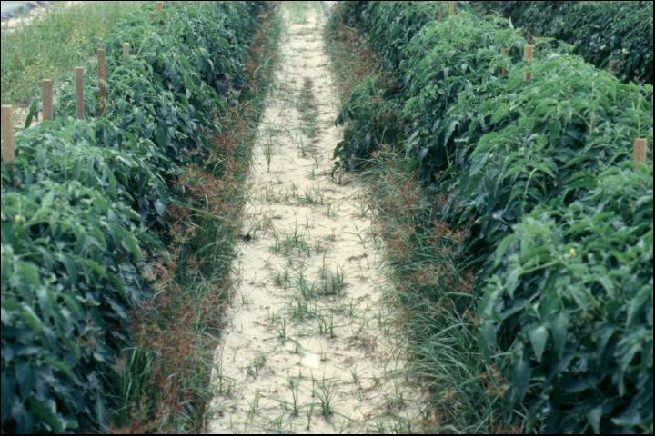 Figure 2.Fields with nutgrass will be a challenge for developing alternative fumigation systems to replace methyl bromide.
