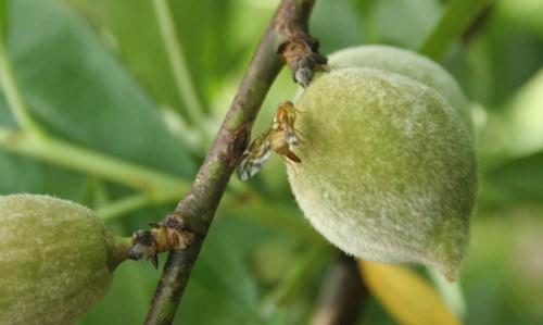 Figure 1.Anastrepha fraterculus(Wiedemann) female laying eggs in a peach.