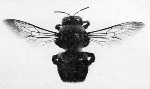 Figure 3. Adult large carpenter bee, Xylocopa virginica (Linnaeus), with wing venation evident.