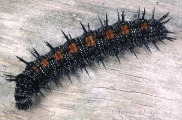 Figure 3. Larva of a mourning cloak, Nymphalis antiopa (Linnaeus), collected in Montgomery County, Virginia.
