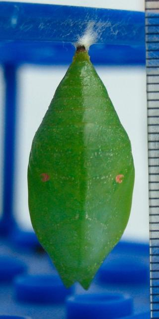 Figure 10. Pupa of Prepona laertes. Scale in millimeters.