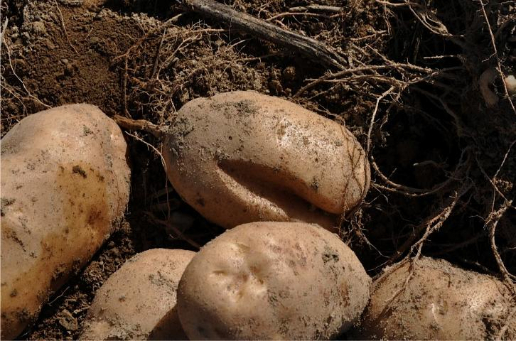 Figure 3.Example of severe growth cracks in baking potato variety.
