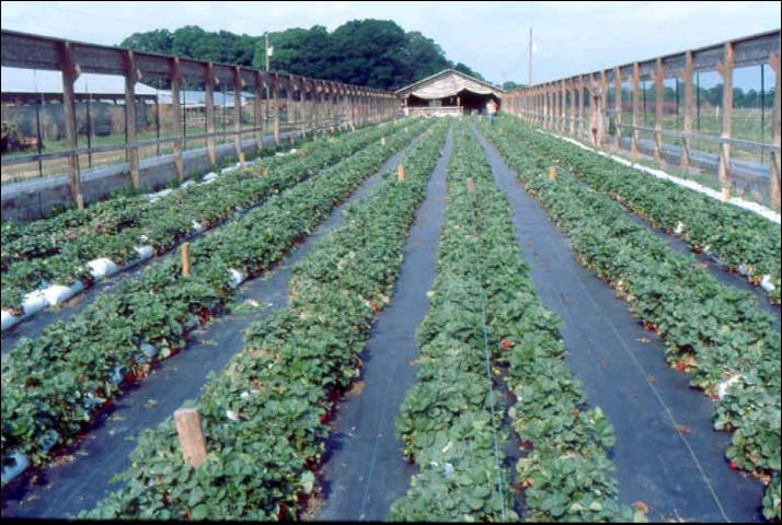 Figure 9.Large-scale strawberry production in perlite-filled bags placed on black nursery cloth.