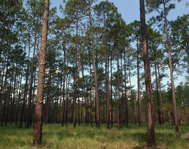 Figure 1. A conserved patch of longleaf pine ecosystem located near Boston, Georgia. Credits: Mark Hostetler, University of Florida, 2009
