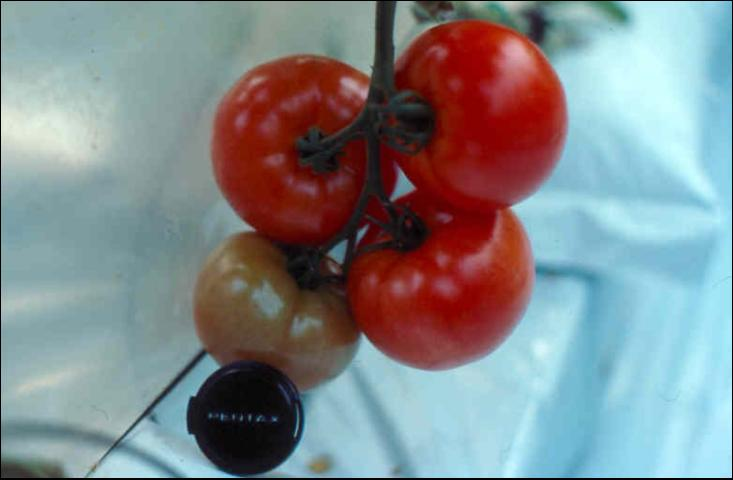 Figure 1.Greenhouse-grown cluster tomatoes ready for harvest.