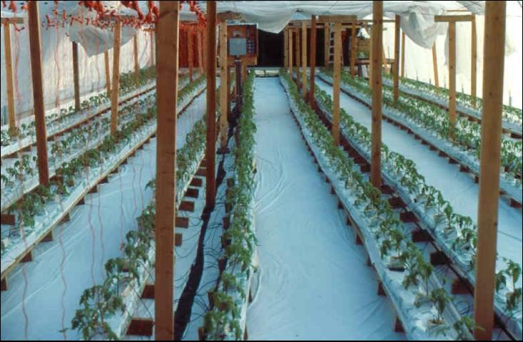 Figure 3.Greenhouse with tomatoes growing in soilless media.