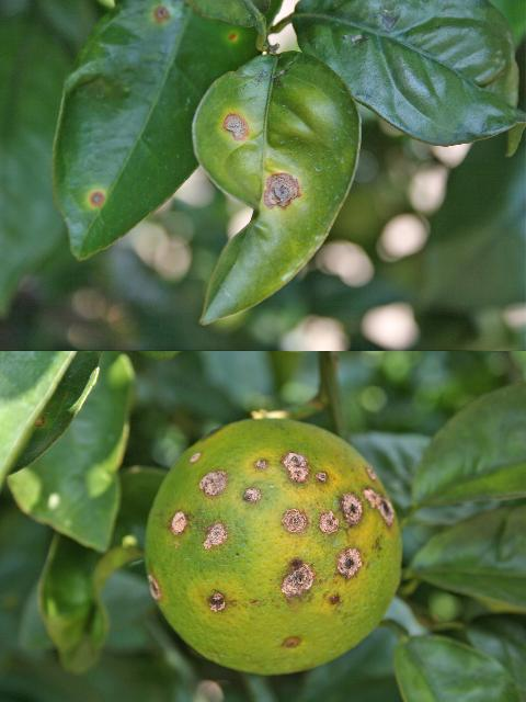 Figure 1. Necrotic canker lesions on grapefruit stems, leaves, and fruit.