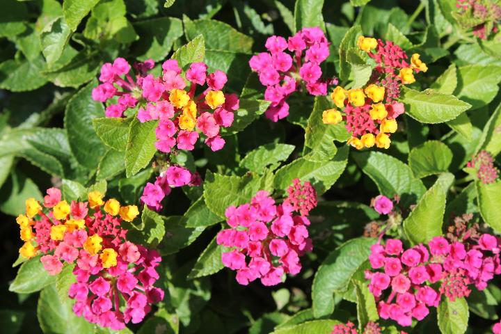 Figure 4.Flowers and inflorescences of 'Bloomify Rose' lantana grown outdoors in ground beds in full sun in Florida.