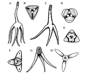 Figure 3. Different shapes/types of the actinospores (the life stage found within the invertebrate host). A – Hexactinomyxon B – Tetractinomyxon C – Triactinomyxon D – Unicapsula E – Neoactinomyxon F – Aurantiactinomyxon