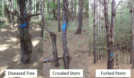 Figure 1.Examples of low-quality trees that should be removed during the first thinning.