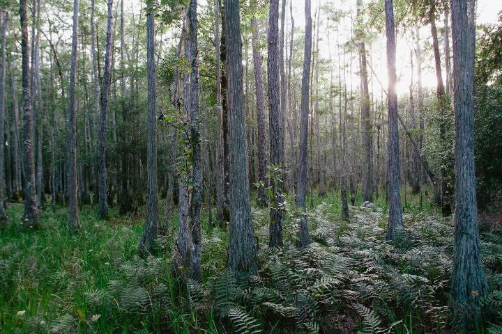 Figure 4.Cypress dome protected by the North Florida Land Trust.