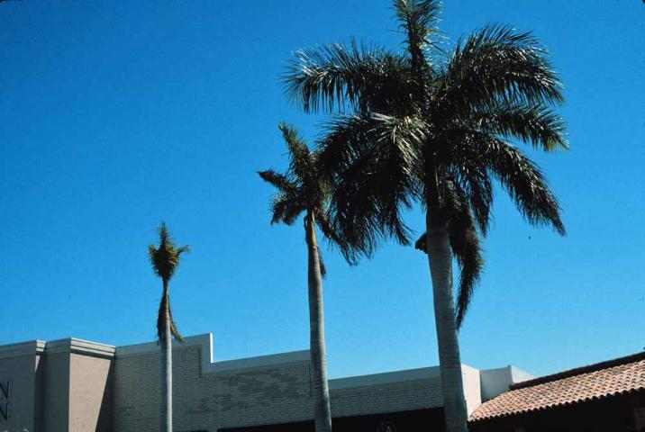Figure 4. Severe potassium deficiency in royal palm. This palm died shortly after the picture was taken.