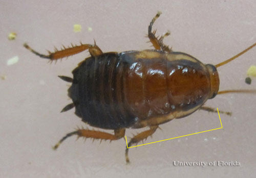 Figure 9.Nymph of the Florida woods cockroach, Eurycotis floridana (Walker), showing yellow margins on the pro-, meso-, and metanota.