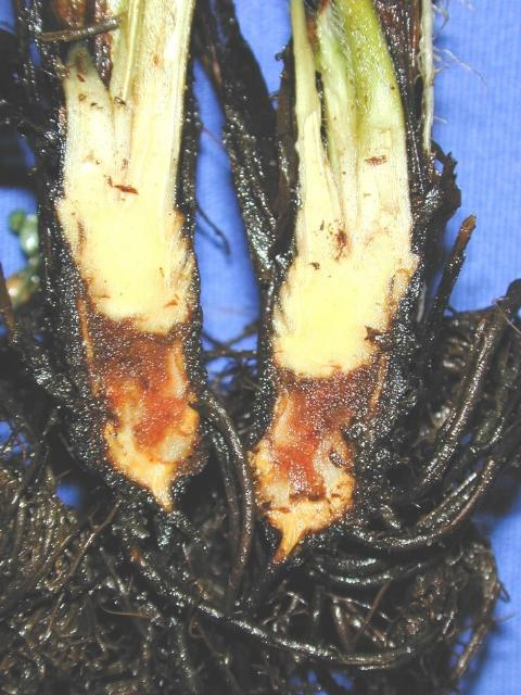 Figure 2. Internal symptoms of Phytophthora crown rot, showing brown-to-orange necrotic areas in the crown.