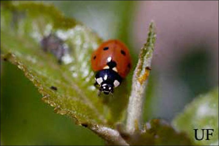 Figure 4. The sevenspotted lady beetle, Coccinella septempunctata Linnaeus.
