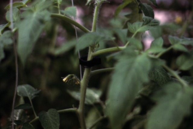 Figure 16.Plastic clip holding plant stem on trellis string.