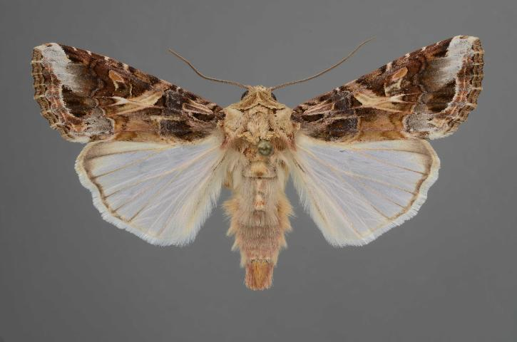Figure 6. Adult yellowstriped armyworm, Spodoptera ornithogalli (Guenée).