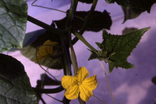 Figure 3. Parthenocarpic greenhouse cucumber flower and young fruit.