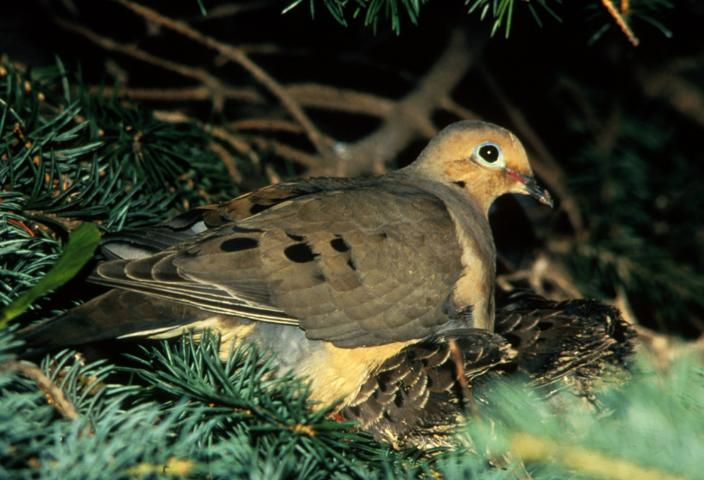 Figure 1. Mourning doves are the most widely distributed and only native species of dove in Florida.