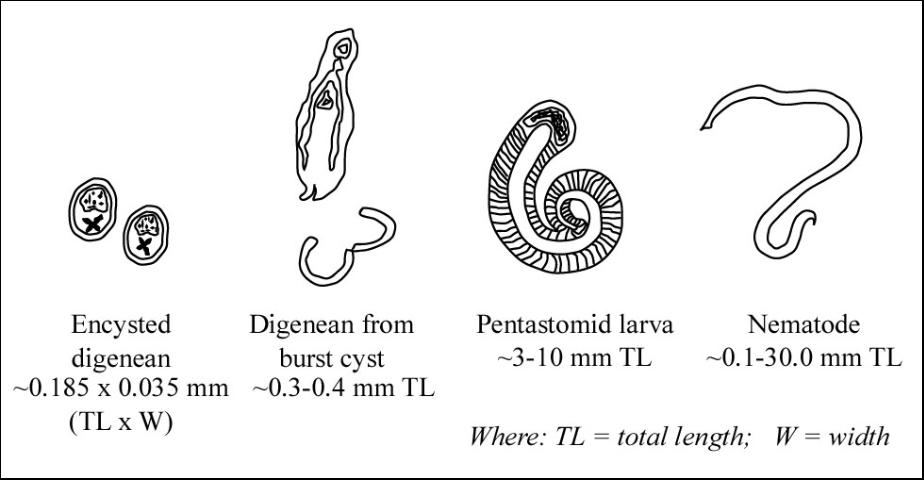 Figure 4. Comparison of digenean trematode, pentastome nymph, and nematode sizes.
