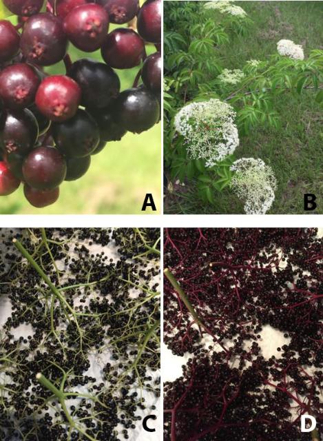 Figure 6. Ripening elderberry about 1 week prior to harvest (A) and nearly ready elderflower (B); harvested cymes of a native-Florida phenotype (C) vs. S. canadensis (D).