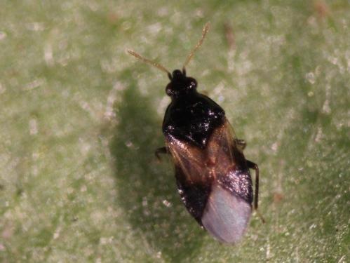 Figure 14.Minute pirate bug, a predator of thrips.