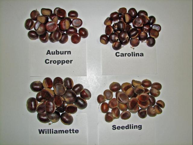 Figure 3.Various nut sizes among chestnut cultivars.