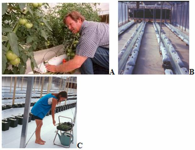 Figure 1.Photos A and B, taken in 1995 in a greenhouse at UF's North Florida Research and Education Center in Live Oak, FL, show a perlite lay-flat-bag system. Photo C pictures a Dutch-bucket system in a greenhouse in Sanford, FL, in 2004.