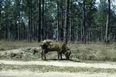 WEC277/UW322: Wild Hogs in Florida: Ecology and Management