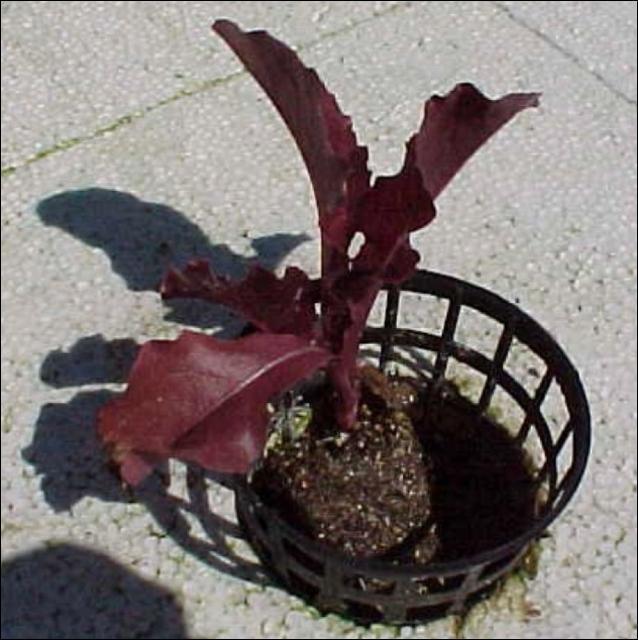Figure 3.Lettuce transplant in net pot.