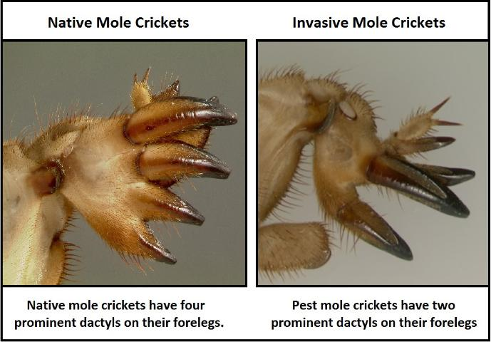 Figure 4.Differences in dactyls between native and non-native pest mole crickets.
