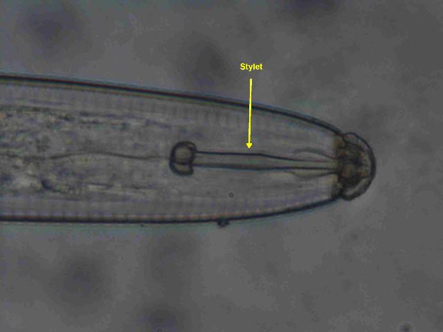Figure 3a. Retracted stylet of a lance nematode