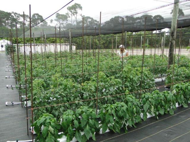 Figure 6.Diversified vegetable crops grown under open shade in Hobe Sound, FL.