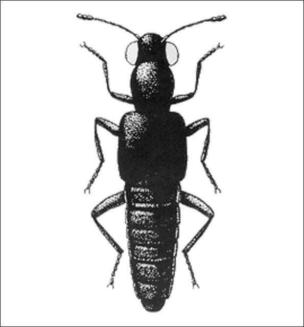Figure 14.Stenus sp. (Steninae) 4.3 mm.