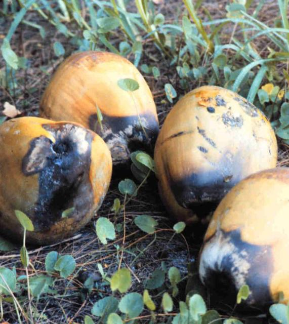 Figure 1.Fruits that prematurely dropped from Cocos nucifera due to Lethal Yellowing. Note dark, water-soaked calyx (stem) end.