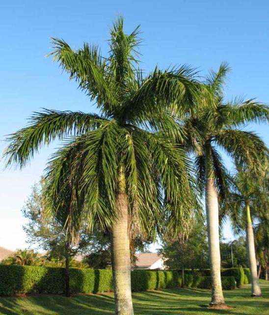 Figure 1. Royal palm (Roystonea regia)
