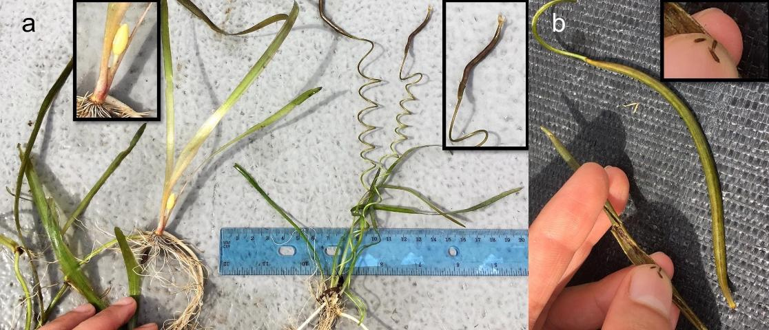 Figure 5. a) Tapegrass (Vallisneria americana) staminate flower on the male plant on the left, and seedpod on the female plant on the right. b) Seedpods carry hundreds of tiny seeds, which are about 1.6 mm or 1/16 of an inch in size.