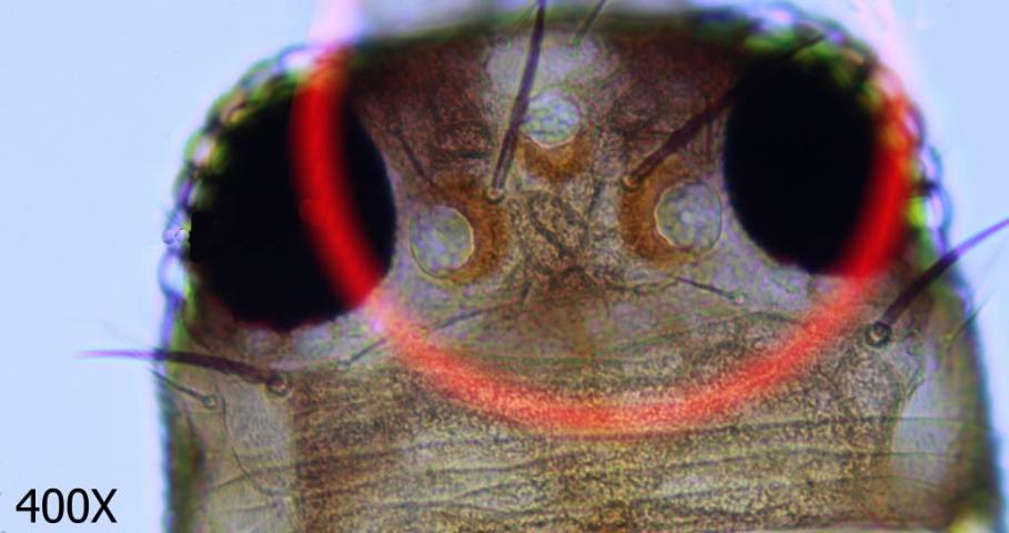 Figure 6.Western flower thrips ocular setae.